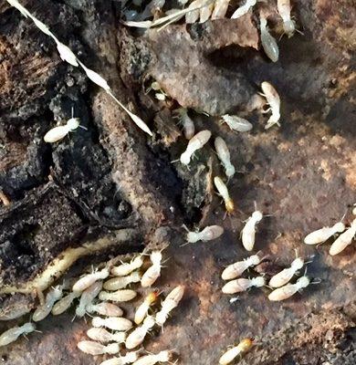 Termite Control In Greater Melbourne
