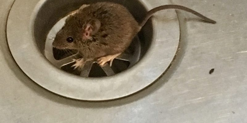 Why You Need A Mouse Exterminator