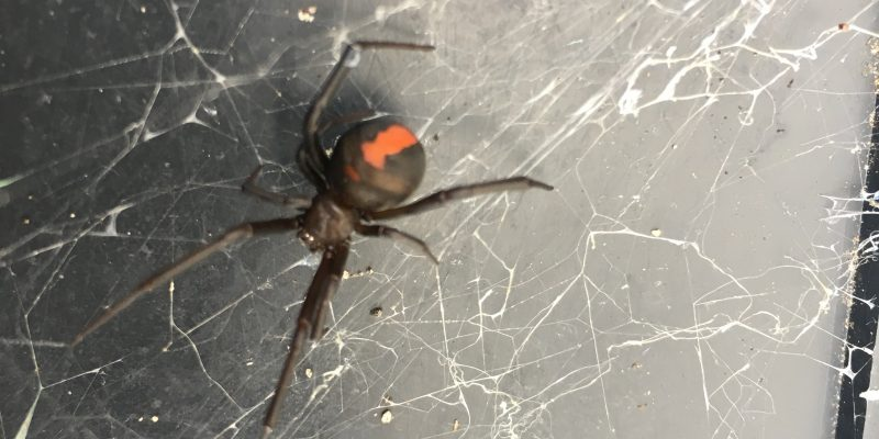 Facts About Redback Spiders
