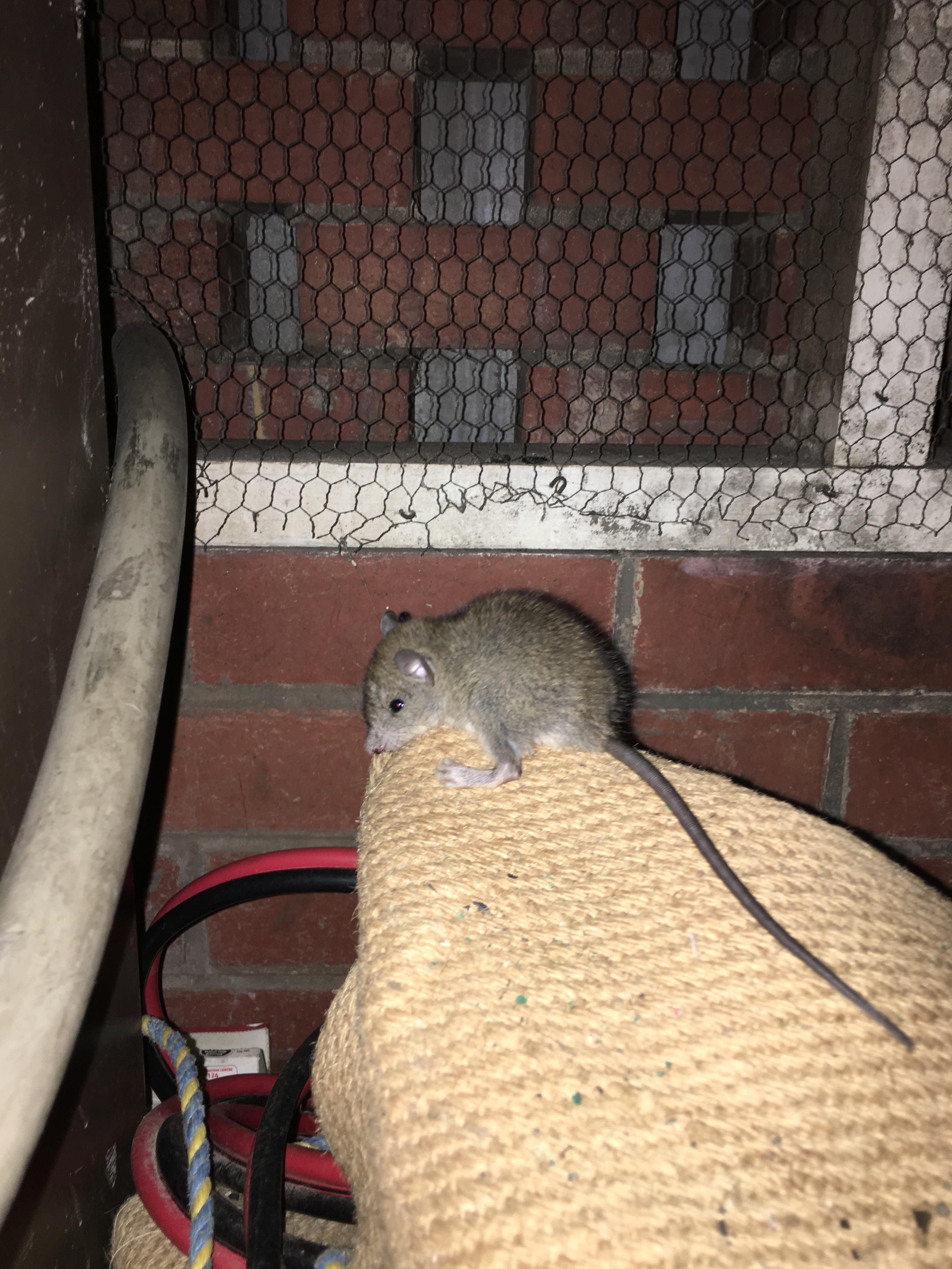 Rat Exterminator Melbourne/Pest Control Melbourne