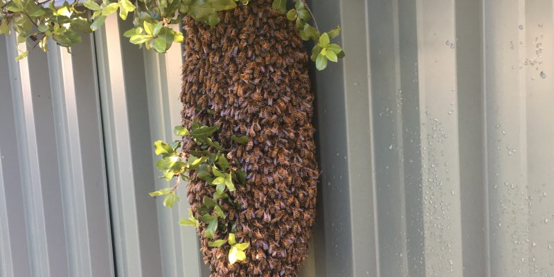 Bee Removal Bentleigh - Bees relocated not killed